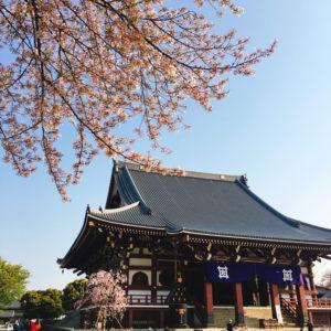 新年度スタート!爽やかな日曜の朝、池上本門寺の桜を眺めながら